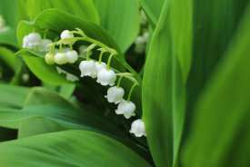 "Parfum bougie ""Lily of the valley"""